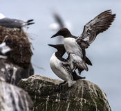 Amour de guillemots dedans Photo libre de droits