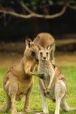 Amour de kangourou Images libres de droits