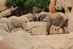Amour de l'éléphant africain de Bush - africana de Loxodonta Photo libre de droits