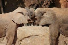 Amour de l'éléphant africain de Bush - africana de Loxodonta Images stock