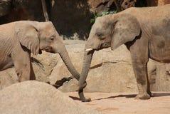 Amour de l'éléphant africain de Bush - africana de Loxodonta Images libres de droits