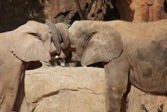 Amour de l'éléphant africain de Bush - africana de Loxodonta Image stock