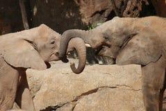 Amour de l'éléphant africain de Bush - africana de Loxodonta Image libre de droits