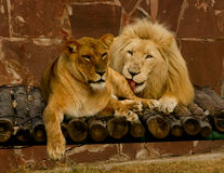 Amour de lions Photo stock