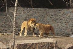 Amour de lions Image stock