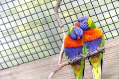 Amour de Lorikeet Photographie stock