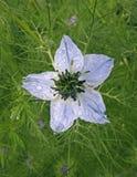 Amour de Nigella en fleur de brume dans le pré Photos stock