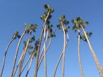 Amour de palmier de la Californie Photo stock