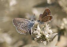 Amour de papillon Image libre de droits