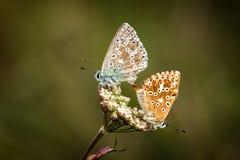 Amour de papillons Image libre de droits