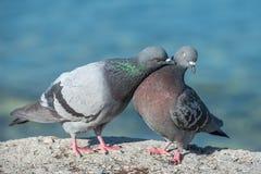 Amour de pigeon Photographie stock libre de droits