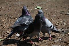 Amour de pigeon, mâle et famille féminine Image stock