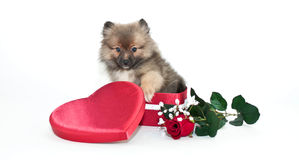 Amour de Pomeranian Photo stock