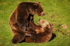 Amour de ressort entre les ours Photos stock