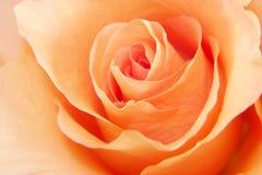 Amour de Rose de pêche Images libres de droits