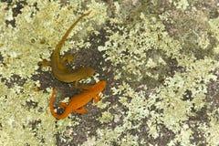 Amour de salamandre Photos libres de droits