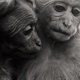 Amour de singe Photographie stock