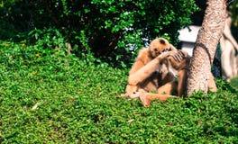 Amour de singe Photographie stock libre de droits