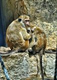 Amour de singe Photo stock
