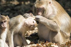 Amour de singes Photo stock