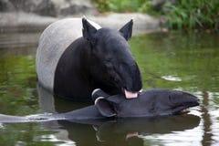 Amour de tapir Images libres de droits