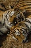 Amour de tigre Images libres de droits