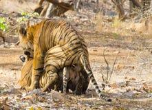 Amour de tigre Photographie stock libre de droits