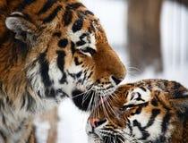 Amour de tigres Images libres de droits