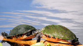 Amour de tortue Photographie stock libre de droits