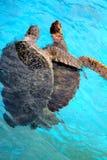 Amour de tortue de mer Images libres de droits