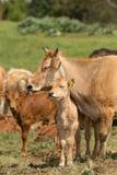 Amour de vache et de veau Images libres de droits