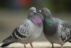 amour de valentine de baiser de pigeon Photos stock