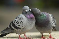amour de valentine de baiser de pigeon Images stock