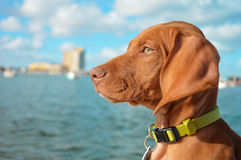 Amour de Vizsla Photo stock