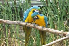 Amour des aras dans une volière, parc de safari, Angleterre Images libres de droits