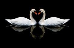 Amour des cygnes Images libres de droits