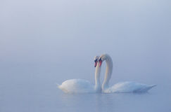 Amour des cygnes muets Photographie stock