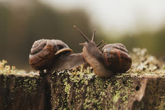 Amour des escargots de raisin Photos stock