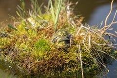 Amour des grenouilles sur une île dans l'étang de jardin Natur de concept Image stock