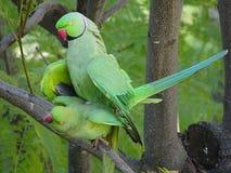 Amour des perroquets sauvages de Krameri images libres de droits