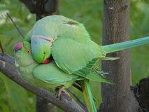 Amour des perroquets sauvages de Krameri photographie stock libre de droits