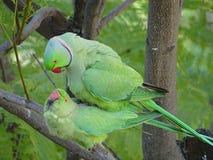 Amour des perroquets sauvages de Krameri image stock