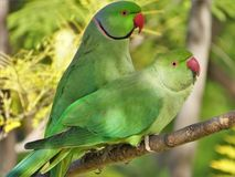 Amour des perroquets sauvages de Krameri photos libres de droits