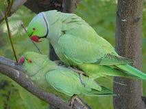 Amour des perroquets sauvages de Krameri image libre de droits
