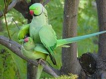 Amour des perroquets sauvages de Krameri photos stock