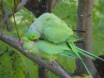 Amour des perroquets sauvages de Krameri photographie stock