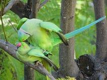 Amour des perroquets sauvages de Krameri photo libre de droits