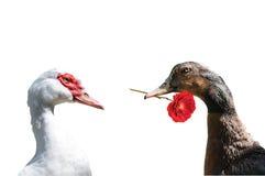 Amour deux de canard Photographie stock libre de droits