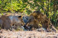 Amour doux de lion Image libre de droits