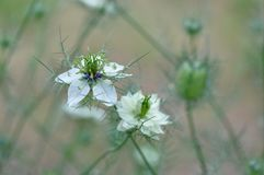 Amour en fleur de damascena de Nigella de brume Images libres de droits